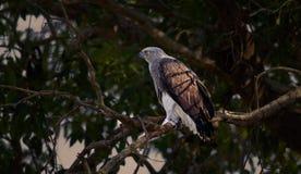 白鹭的羽毛:掠食性动物和牺牲者 图库摄影