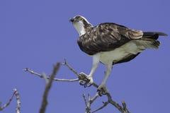 白鹭的羽毛细节 免版税图库摄影