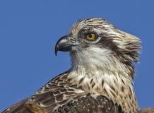 白鹭的羽毛画象Pandion haliaetus澳大利亚 免版税图库摄影