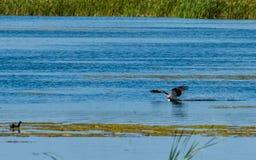 白鹭的羽毛水走 免版税图库摄影