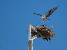 白鹭的羽毛登陆 库存图片