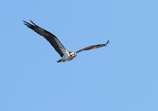 白鹭的羽毛 免版税库存照片