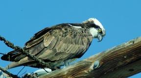 白鹭的羽毛 图库摄影