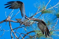 白鹭的羽毛(Pandion Haliaetus) 库存图片