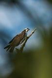 白鹭的羽毛(Pandion haliaetus) 免版税图库摄影