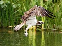 白鹭的羽毛(Pandion haliaetus) 免版税库存图片