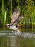 白鹭的羽毛(Pandion haliaetus) 图库摄影