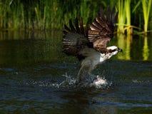 白鹭的羽毛(Pandion haliaetus) 库存照片