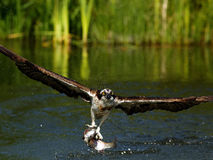 白鹭的羽毛(Pandion haliaetus) 免版税库存照片