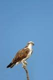 白鹭的羽毛- Pandion haliaetus 免版税图库摄影