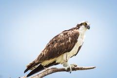 白鹭的羽毛Pandion haliaetus坐分支 免版税库存照片