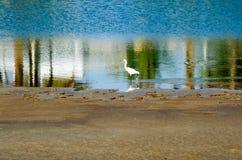 白鹭空白的一点 库存照片