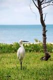 白鹭苍鹭一点小的白色 库存图片