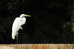 白鹭范围 免版税图库摄影