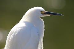 白鹭配置文件被射击的白色 免版税库存图片