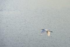 白鹭飞行 图库摄影