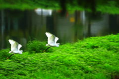 白鹭飞行 库存照片