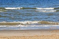 白鹭食物的狩猎鱼在海滨 免版税库存照片