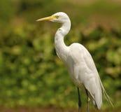 白鹭:白色优美的鸟 免版税图库摄影