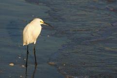 白鹭Egetta在浅海浪的thula身分在日落 库存照片