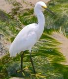 白鹭egretta多雪的thula 库存图片