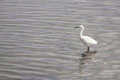白鹭egretta garzetta一点 库存图片