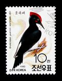 白鼓起的啄木鸟(Dryocopus javensis),鸟类学家Doc 库存图片