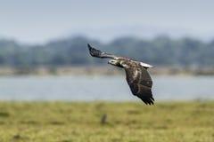 白鼓起的海鹰在Arugam海湾盐水湖,斯里兰卡 库存照片