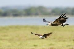 白鼓起的海鹰在Arugam海湾盐水湖,斯里兰卡 免版税库存照片