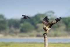 白鼓起的海鹰在Arugam海湾盐水湖,斯里兰卡 库存图片