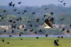 白鼓起的海鹰在Arugam海湾盐水湖,斯里兰卡 图库摄影