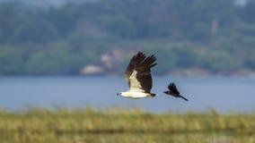 白鼓起的海鹰在Arugam海湾盐水湖,斯里兰卡 免版税库存图片