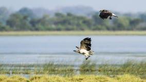 白鼓起的海鹰飞行在Arugam海湾盐水湖,斯里兰卡 免版税图库摄影