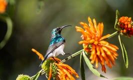 白鼓起的Sunbird 免版税图库摄影