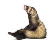 白鼬, 9个月,坐直和查找 免版税库存图片