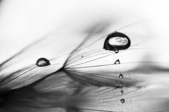 黑白,宏观,抽象构成用水在蒲公英种子下降 免版税库存图片