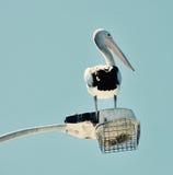 黑白:澳大利亚鹈鹕 免版税库存图片