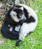 黑白猴子 库存照片