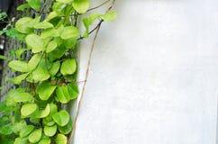 白水泥墙壁和绿色叶子 库存图片