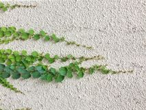 白水泥墙壁背景的绿色叶子植物 库存照片
