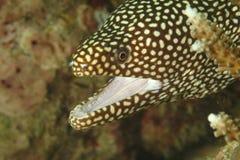 白嘴海鳗, Kapalai海岛,沙巴 库存图片