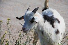 白黑的山羊 免版税库存图片