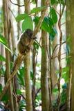白头的狐猴Eulemur albifrons,马达加斯加 库存照片