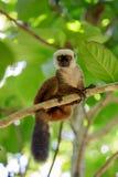 白头的狐猴Eulemur albifrons,马达加斯加 图库摄影