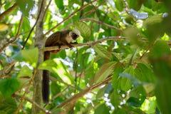 白头的狐猴Eulemur albifrons,马达加斯加 免版税库存图片