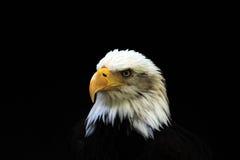 白头的老鹰 免版税图库摄影
