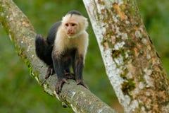 白头的连斗帽女大衣,黑猴子坐在黑暗的热带森林Cebus capucinus的树枝在gree回归线vegetatio 免版税库存照片