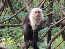 白头的连斗帽女大衣猴子 库存图片