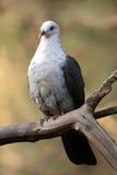 白头的鸽子 库存照片