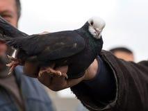 白头的黑鸽子在手中 免版税库存图片